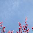 3月17日朝:紅梅と空