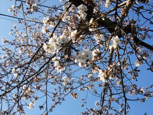 3.27*ソメイヨシノ三分咲き