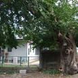 ムクノキ(椋の木)