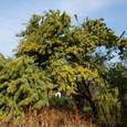 ミモザの樹
