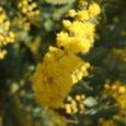 3月17日*ミモザの花