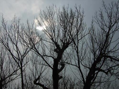 犬山城の大木