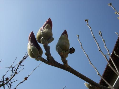 3月18日*木蓮の蕾