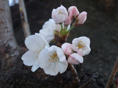 3.27ソメイヨシノ三分咲き