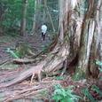 木の根道(赤沢自然休養林)