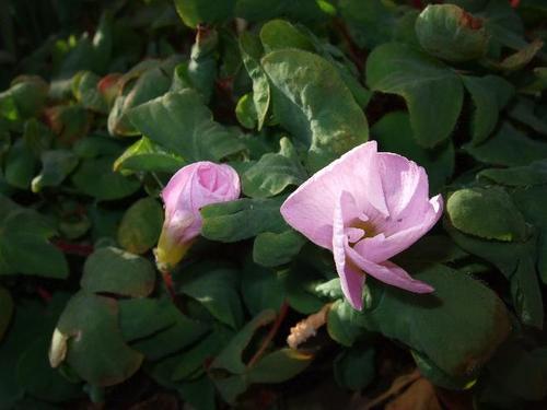 オキザリス(ピンク)*2・19